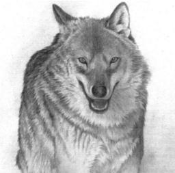 Exposició Donem la benvinguda al llop! Font: web de l'Agenda d'Olot